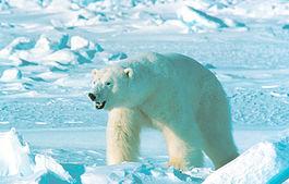 Ursus_maritimus_in_Alaska